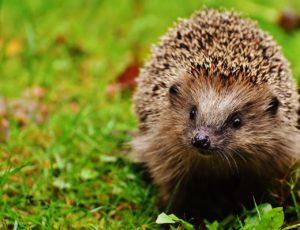 hedgehog child, hedgehog, animal