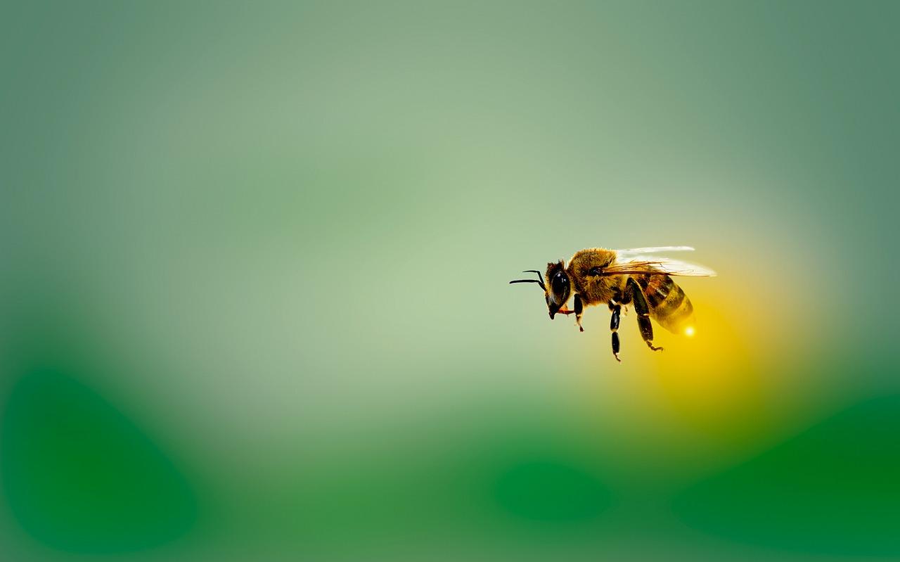 honeybee, bee, honey